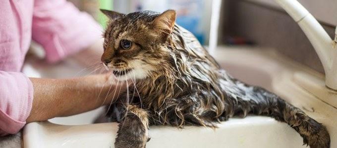 kucing mandi berapa kali dalam seminggu