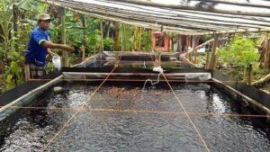 Cara Ternak Ikan Wader (Benteur) Lengkap Bagi Pemula